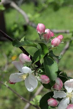 ニュートンのリンゴ-4(20180416).jpg