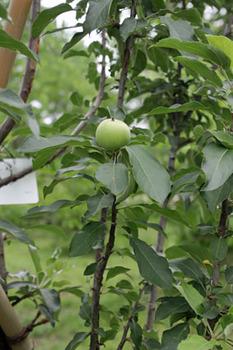 セイヨウリンゴ-1(20180609).jpg