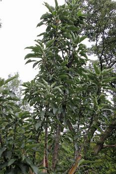 セイヨウリンゴ-2(20180609).jpg