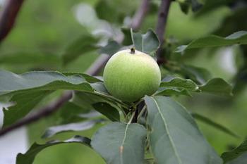セイヨウリンゴ-3(20180609).jpg