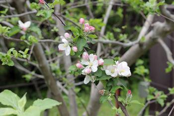 ニュートンのリンゴ-3(20180416).jpg