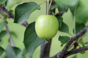 ニュートンのリンゴ-7(20180609).jpg